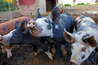 pigs at Winivian