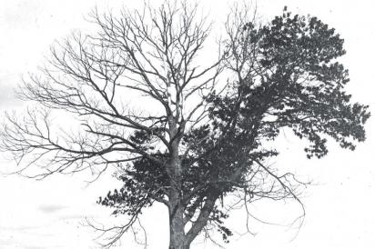 An American chestnut