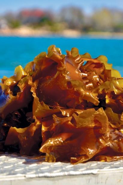 sugar kelp