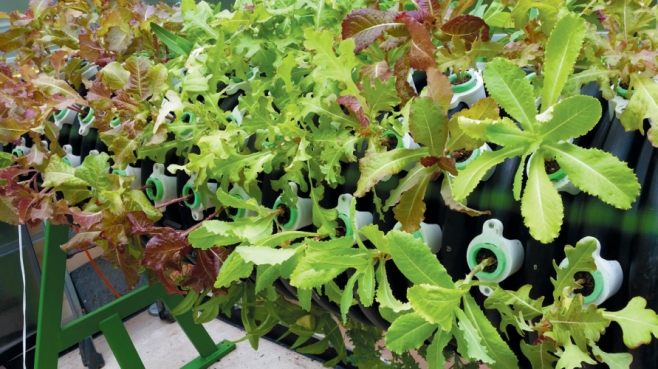 Lettuce greens grow in Arise's cylindrical growing system.