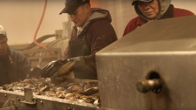 processing oysters in the factory